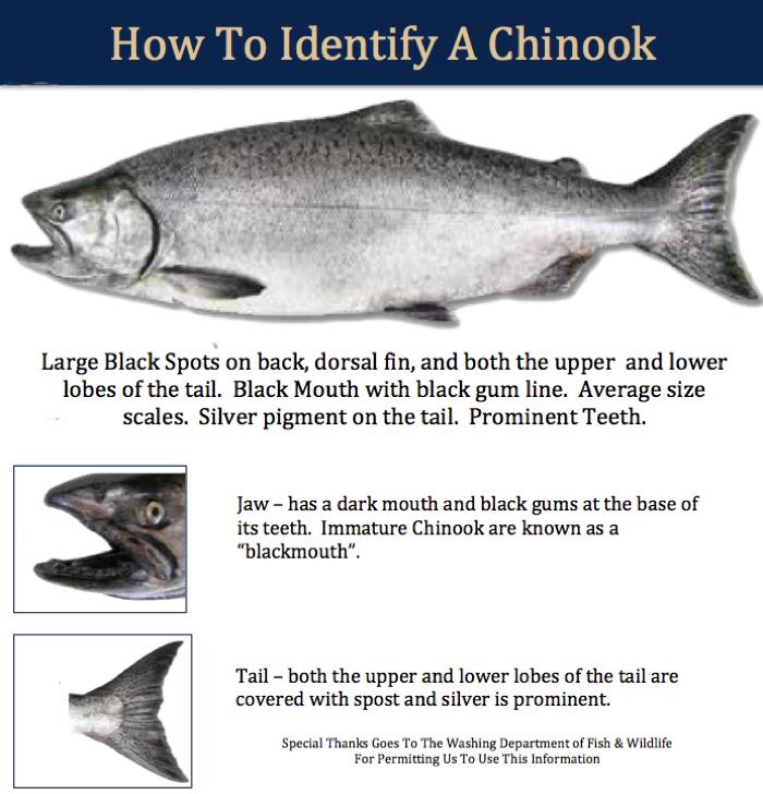 rocky point charters chinook salmon tyee salmon rocky