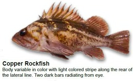 copper-rockfish
