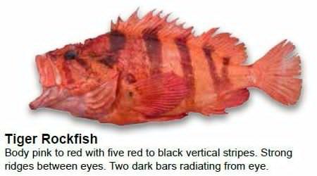 tiger-rockfish