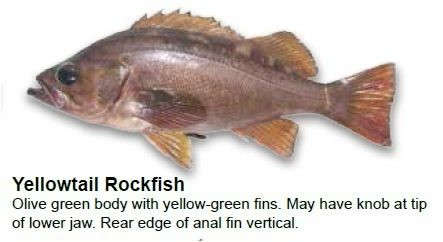 yellowtail-rockfish